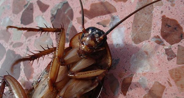 Kakerlaken-Spezies